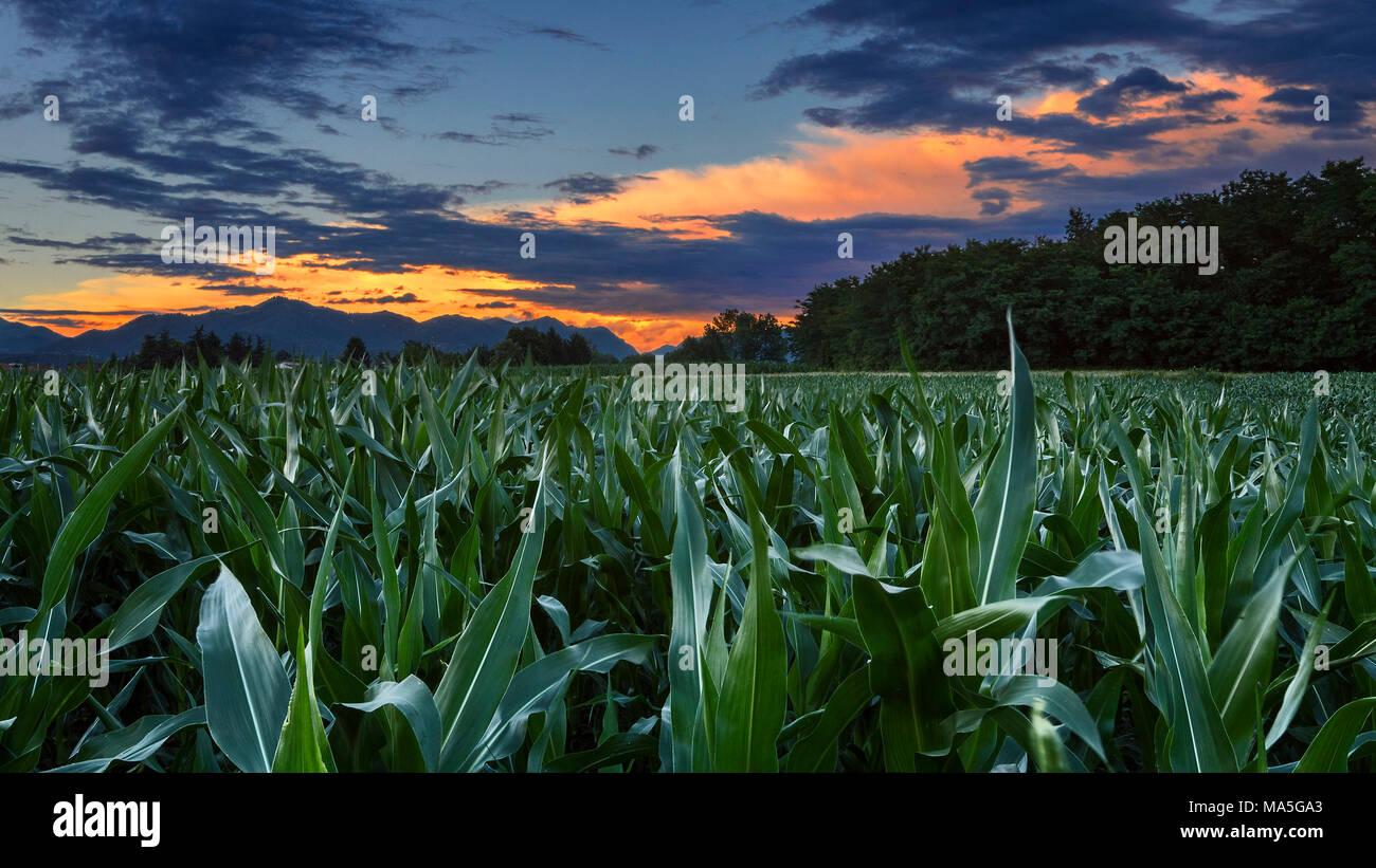 Sonnenuntergang auf cornfield, Provinz Como, Lombardei, Italien, Europa Stockbild