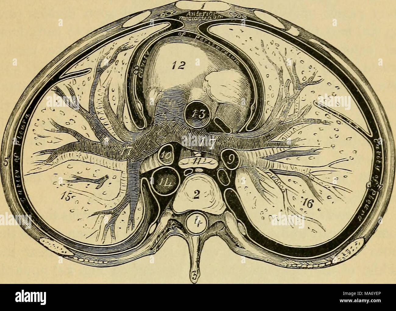 Elementare Physiologie. Fjg. 53. - Querschnitt durch den Thorax. Der ...