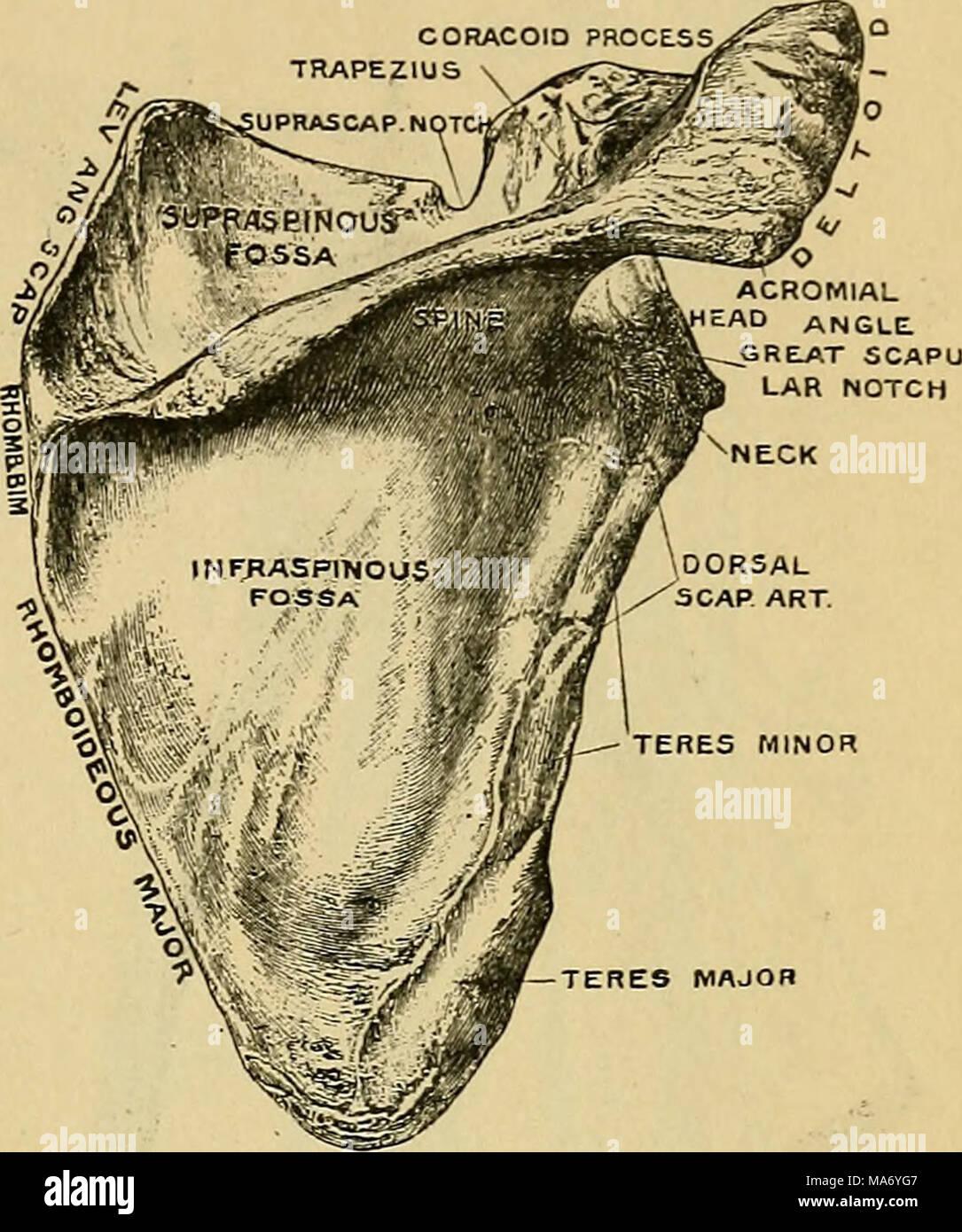 Fein Knochen Anatomie Und Physiologie Fotos - Menschliche Anatomie ...