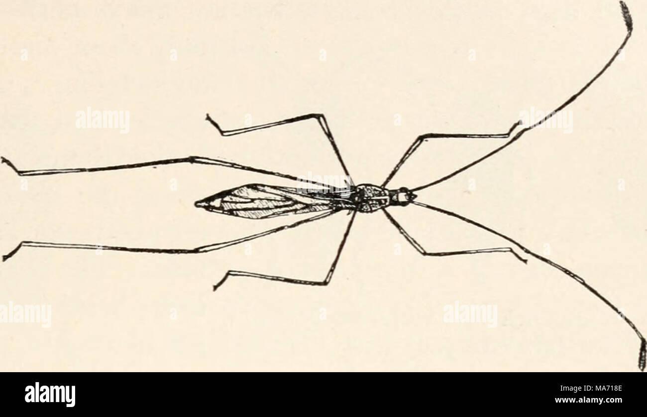 . Elementare Entomologie. Abb. 160. Eine stelze-Bug (Jalysus spinosii* sagen). (Vergrößert) (nach Lugger) Braun, mit einem schmalen gelben 7 Grenze, der prothorax ist Gelb und Rot mit zwei schwarzen Flecken. Fast ist die rot-bug-Familie (Pyr-rJiocoridac], benannt nach dem rot-Fehler oder Baumwolle - stainer (dysdercus Stockbild