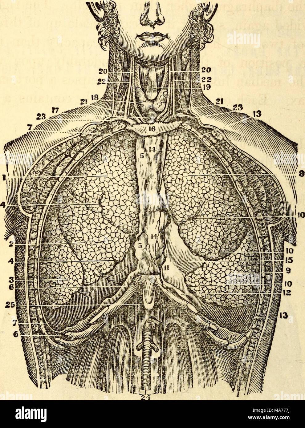 Charmant Anatomie Der Rechten Lunge Bilder - Menschliche Anatomie ...