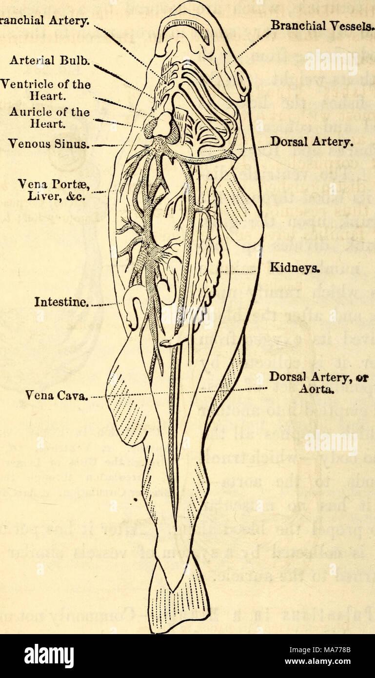 Ausgezeichnet Pfortader Anatomie Galerie - Menschliche Anatomie ...