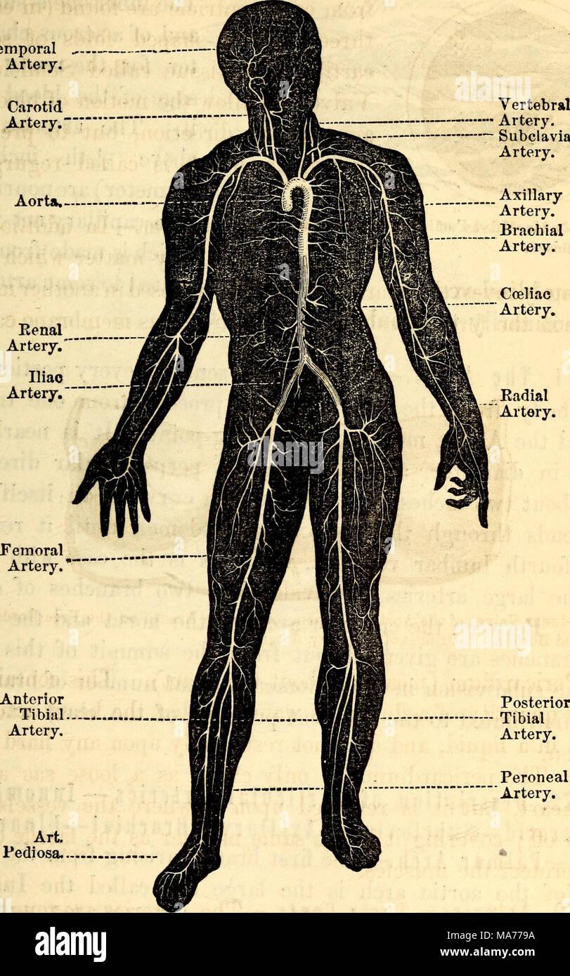 Gemütlich Anatomie Der Arterien Fotos - Menschliche Anatomie Bilder ...