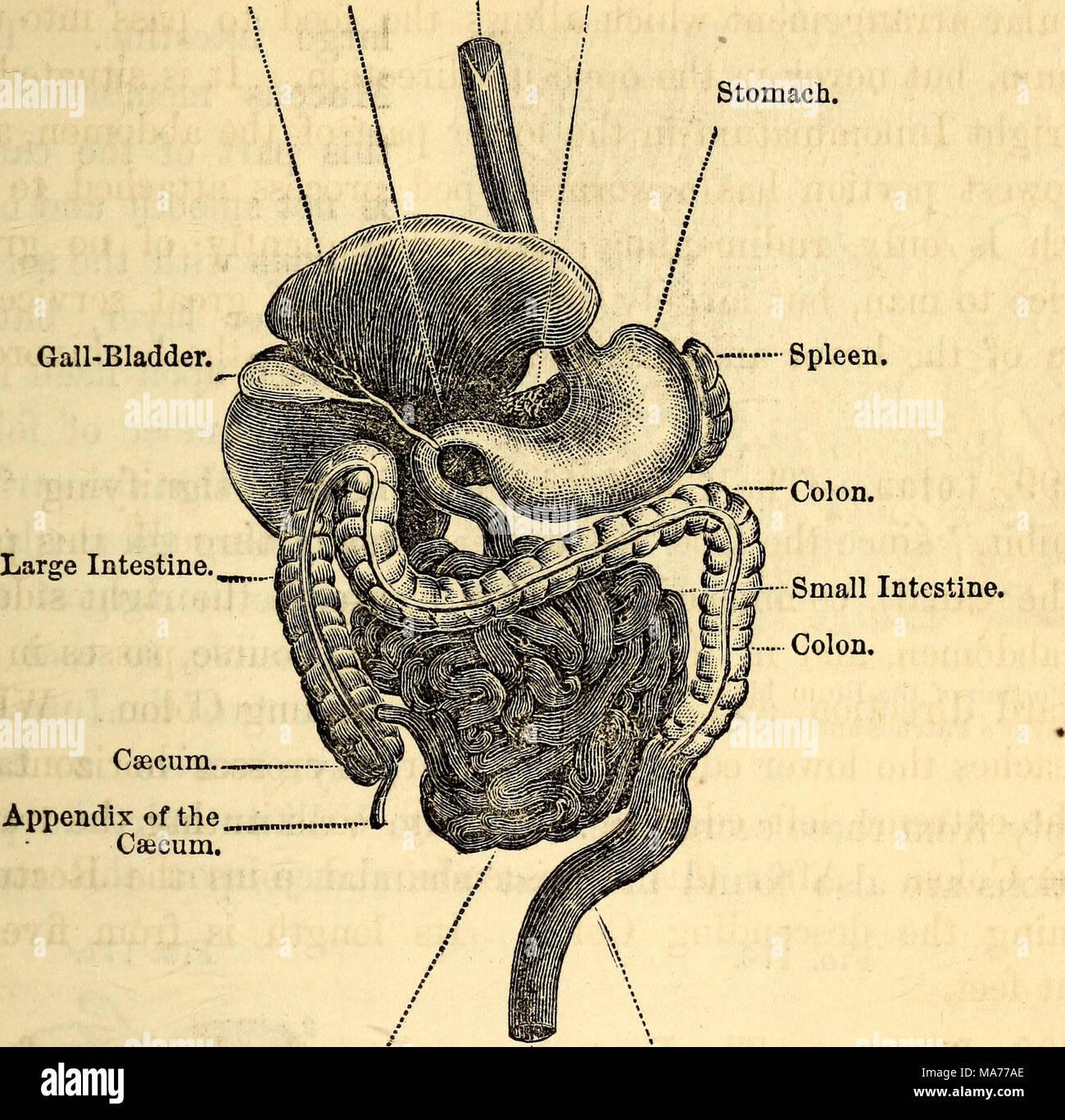 Digestive Apparatus Stockfotos & Digestive Apparatus Bilder - Alamy