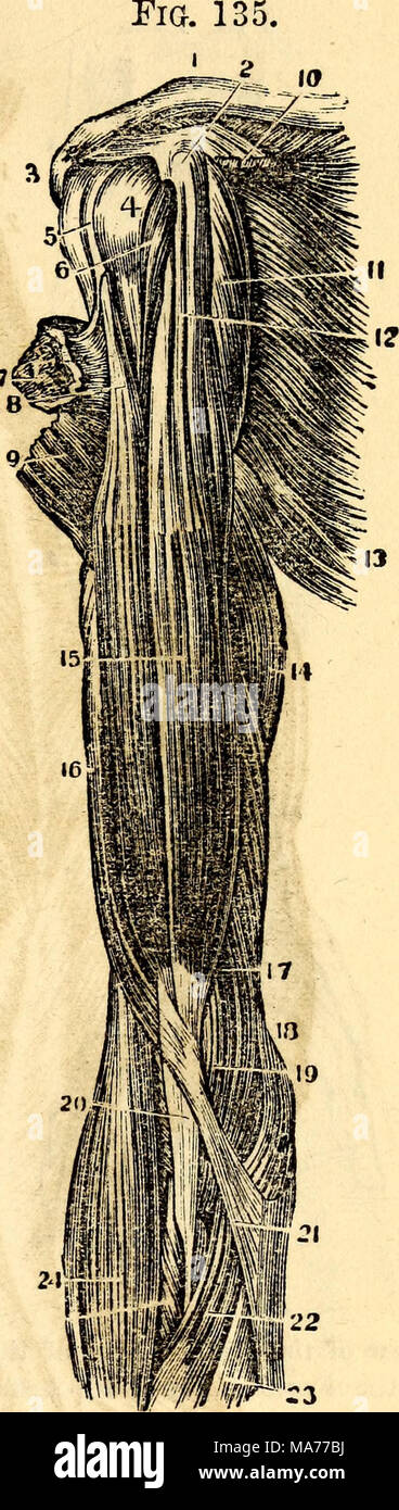Gemütlich Muskeln Des Arms Anatomie Fotos - Menschliche Anatomie ...