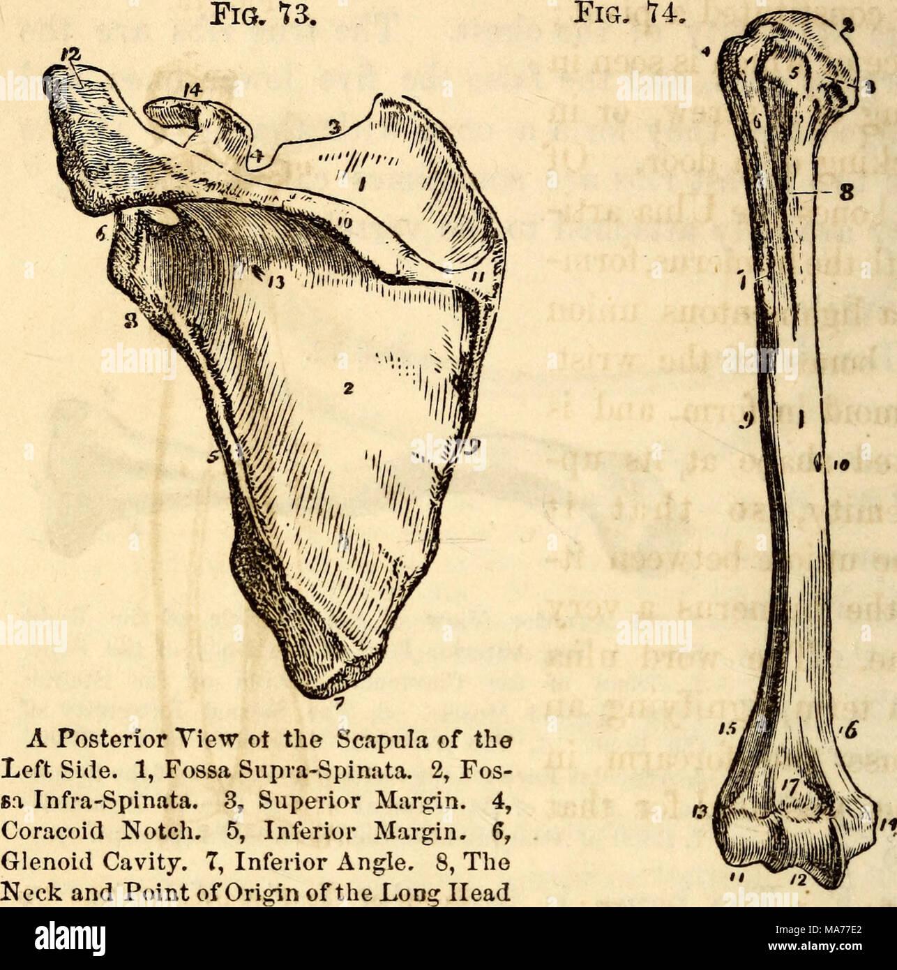Erfreut Anatomie Und Physiologie Knochen Bilder - Menschliche ...