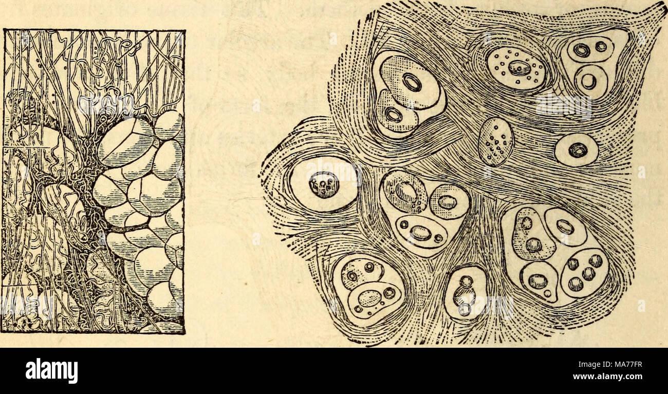 Niedlich Anatomie Zellen Und Geweben Bilder - Menschliche Anatomie ...