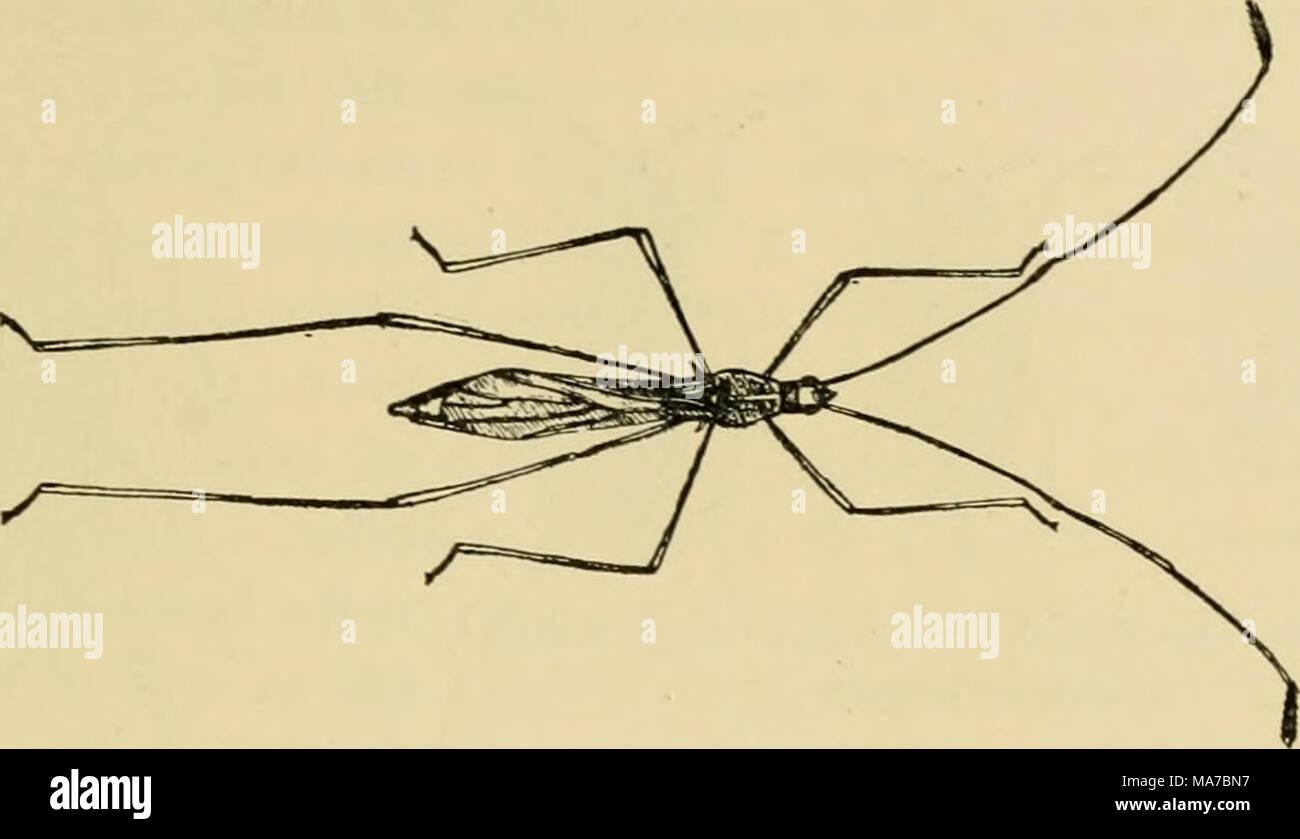 . Elementare Entomologie. Abb. 160. Eine stelze - Fehler {Jalysus sphiosiis Sagen). (Vergrößert) (nach Lugger) Braun, mit einem schmalen, gelben Rand der prothorax) ellow und Rot mit zwei schwarzen Flecken. Fast ist die rot-bug Familie [Py?-- rJiocoridac), benannt nach dem rot-Fehler oder Baumwolle - stainer {Dysdcrcus Stockbild