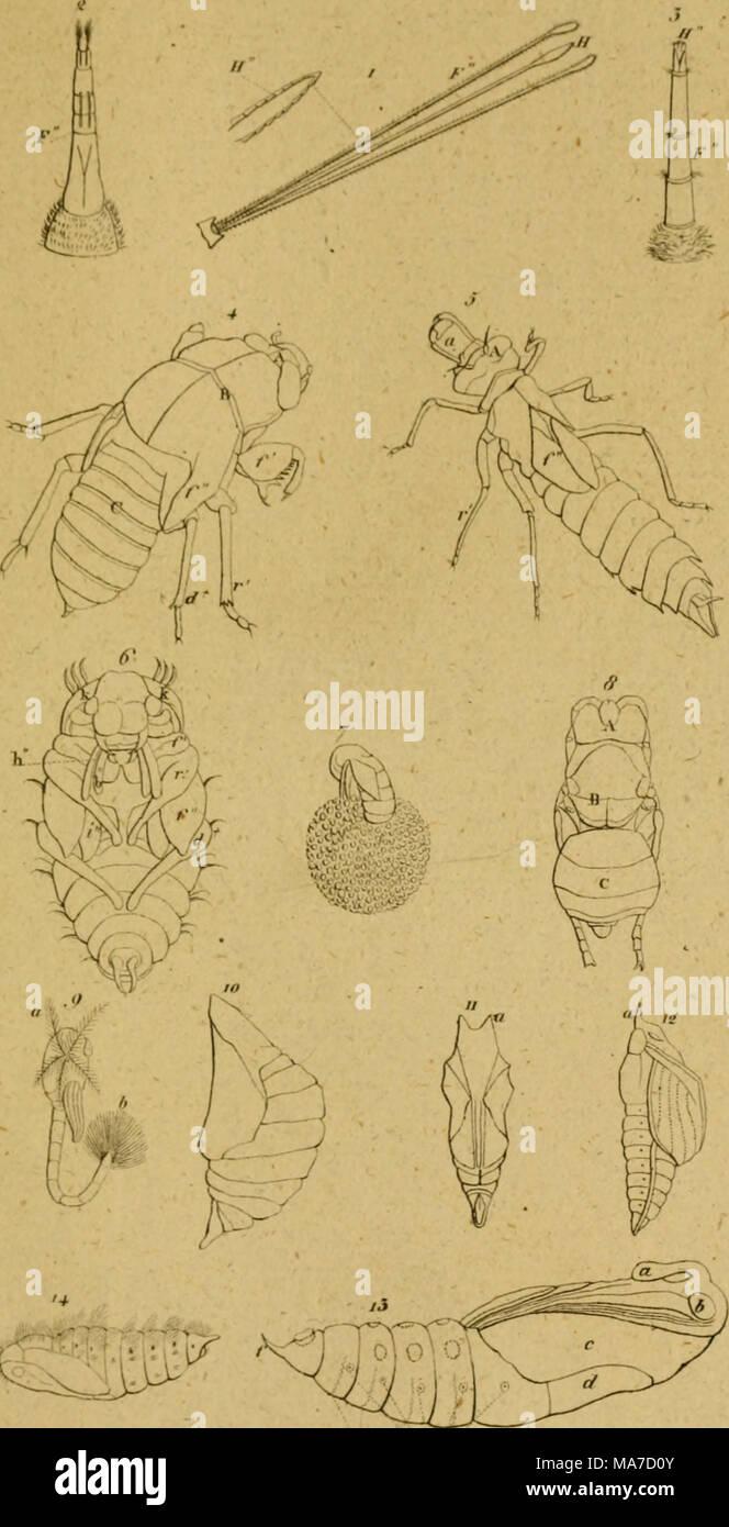 . Eine Lektüre in die Entomologie: oder der Naturgeschichte der Insecten. Stockbild