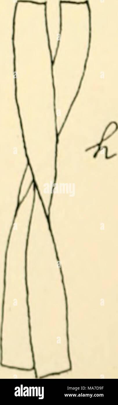 """. Einfhrung in die Agrikulturmykolgie. Abb. 19 Ich"""" und """"Leptothrii oohrtoi h. r,</. /,, J Qallio n r11 eine ferrnginea, 0 und/< Spirophyllum feringineam. NhcIi I). Kllis Di""""-von Schorlei (1) aufgefundene Clonothrii fusca (FERRU - uint-a) (Kig. """"Ein Hut festsitzende Fäden, die Dichotom oder Unregel- mäßig verzweig Sünde,  . [) J (. zylindrischen oder flach scheibenförmigen Zellen binden von einer Srheide umgeben. Vermehrung erfolgt durch kleine, kugelige Sterben, unbewegliche Gonidien, sterben aus den vegetativen Zellen entstehen. Stockfoto"""