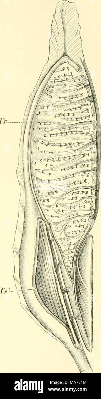Wunderbar Funktionelle Mikroskopische Anatomie Der Niere Fotos ...