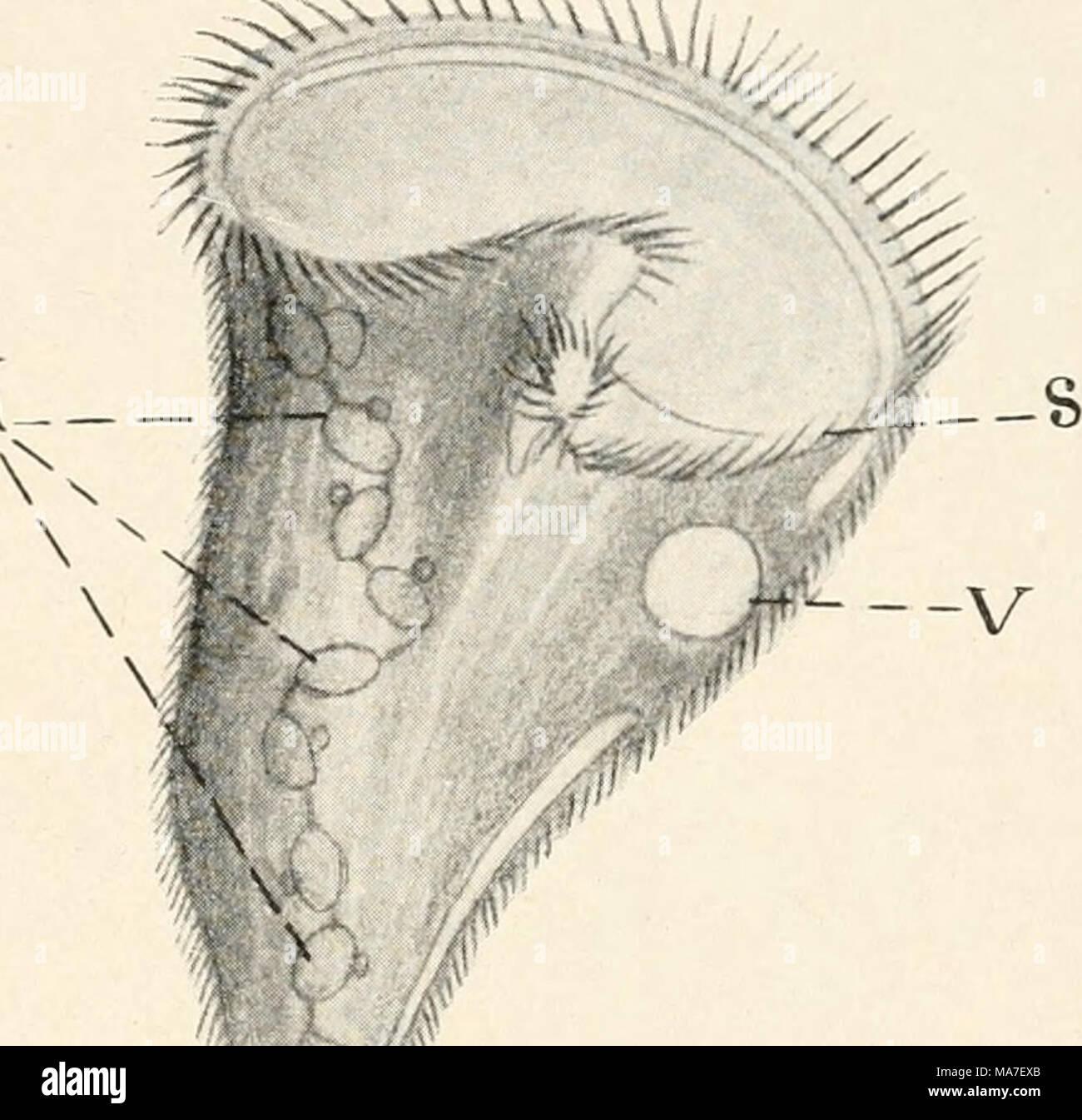 Einführung in die Biologie. Abb. 90. Flagellat, para-sitisch im Darm ...