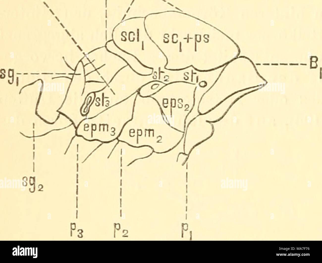 . EinfüHrung in die Kenntnis der Kämpfen. Abb. 194. Brustabschnitt einer Ameise, Atta Barbara L. / Brauer. Bi, Vorderer Brustring, Prothorax, Pi, Grund-Teil des VORDERBEINS I Stockbild