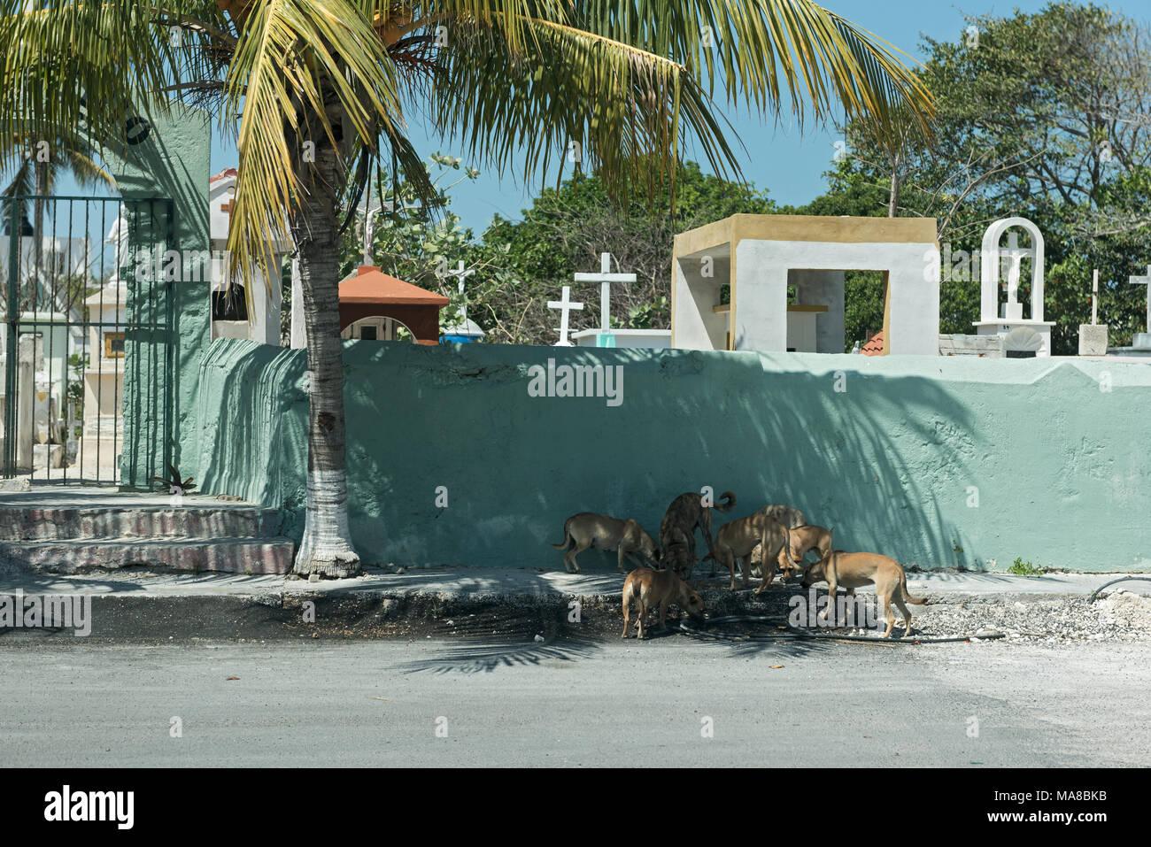 Street Dogs vor der Friedhofsmauer in Chiapas, Mexiko Stockbild