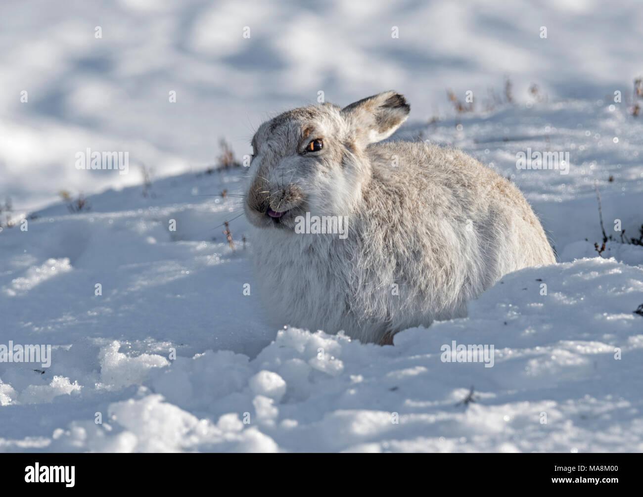 Schneehase (Lepus timidus) in seiner Form auf schneebedeckten Hügel in den schottischen Highlands, März 2018 Stockbild