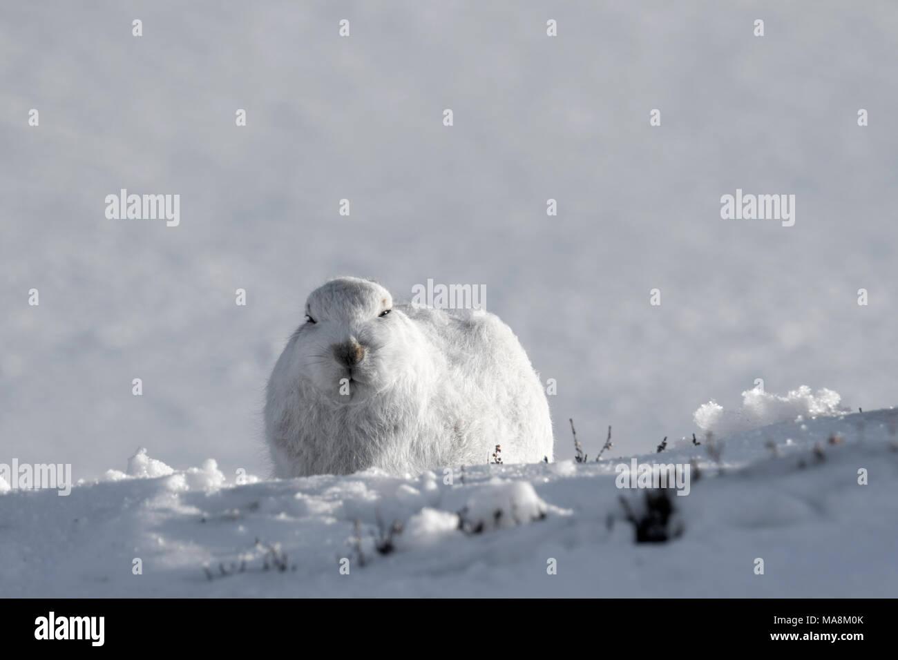 Schneehase (Lepus timidus) Suchen Sie geradeaus in Form auf schneebedeckten Hügel in den schottischen Highlands, März 2018 Stockbild
