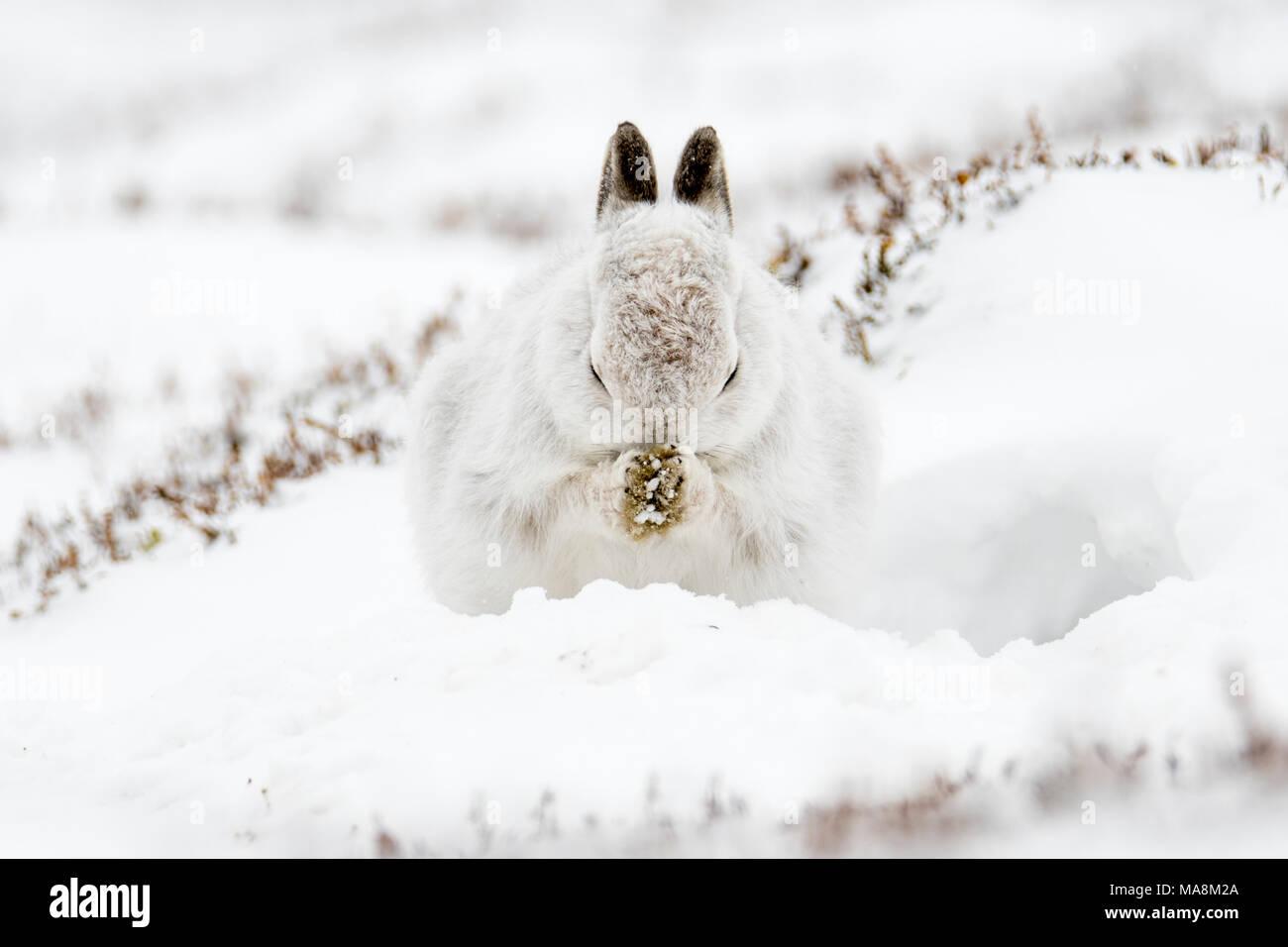 Schneehase (Lepus timidus) Pflege in Form auf schneebedeckten Hügel in den schottischen Highlands, März 2018 Stockbild