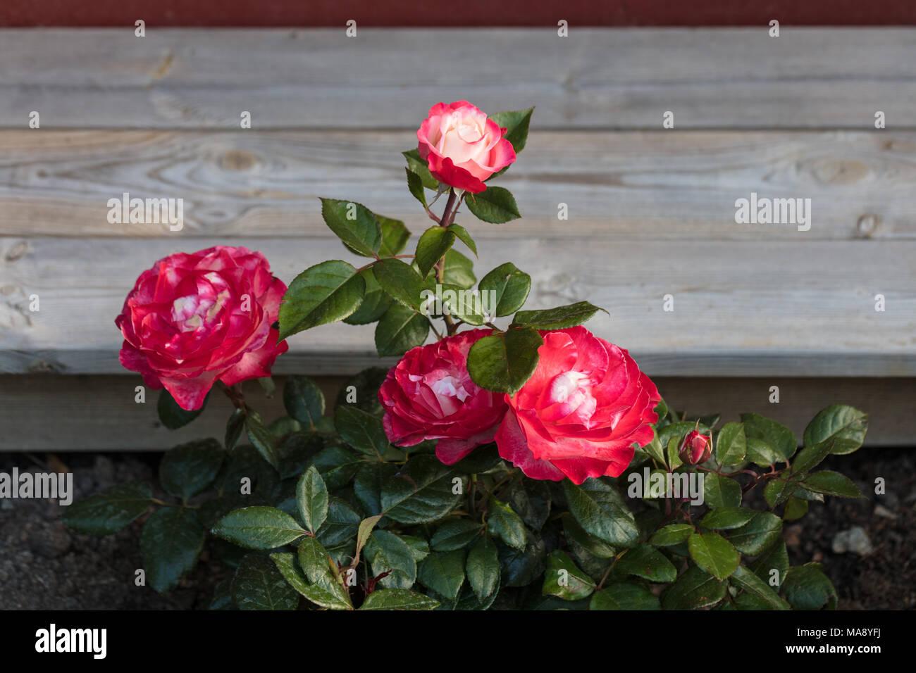 'Nostalgie' Hybrid Tea Rose, Tehybridros (Rosa) Stockbild