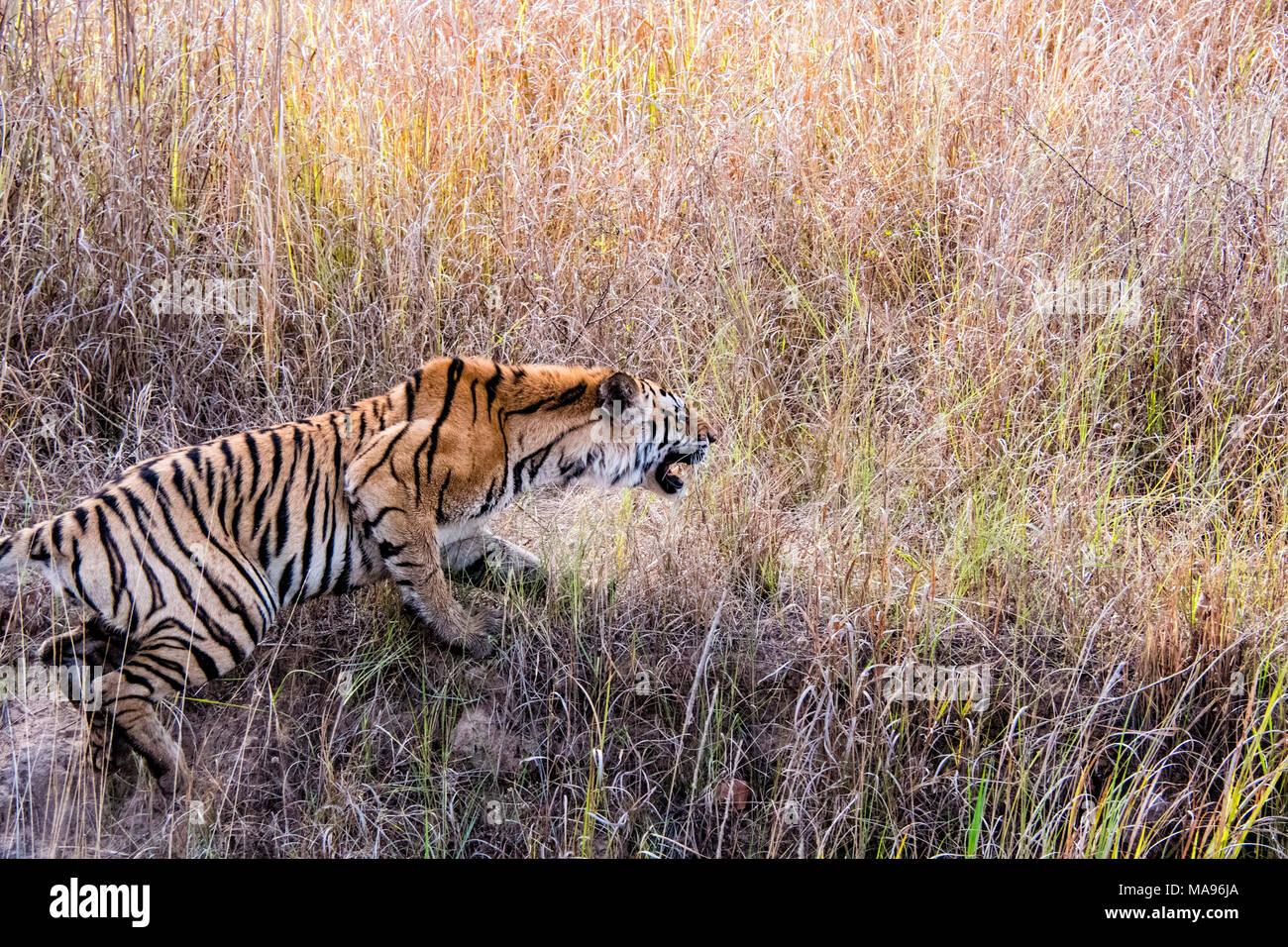 Wilde Bengal Tiger, Panthera tigris Tigris, Heulen, in Bandhavgarh Tiger Reserve, Madhya Pradesh, Indien angreifen Stockbild