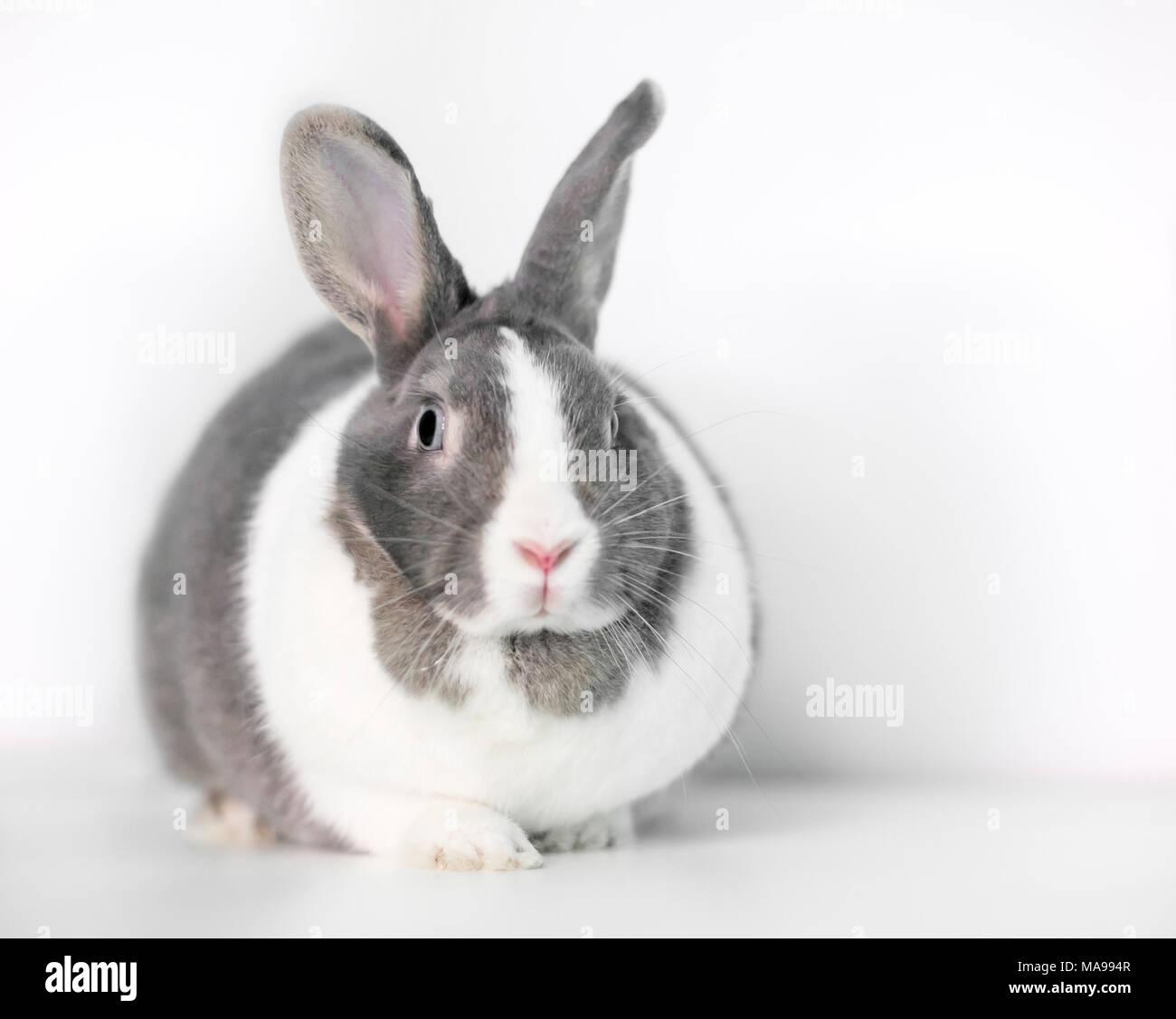 holländer kaninchen ausstellung