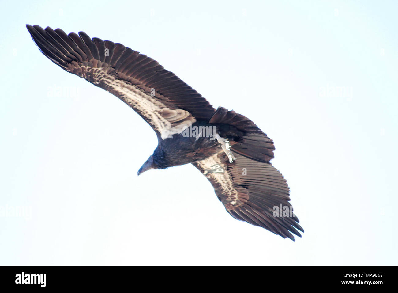 Condor Unterseite. Die nach Kalifornien Condor ist einheitlich schwarz, mit der Ausnahme, vor allem in der männlichen, von großen dreieckigen Flecken oder Streifen in Weiß auf der Unterseite der Flügel. Er hat graue Beine und Füße, einen Elfenbeinfarbenen Bill, ein Halskrause der schwarzen Federn, die die Basis des Halses und bräunlich-rote Augen. Als Anpassung für Hygiene, der Condor Kopf und Hals haben wenige Federn, die die Haut auf die sterilisierende Wirkung von Dehydratation und solar UV-Licht macht in großen Höhen. Die Haut von Kopf und Hals ist in der Lage, deutlich Spülen in Reaktion auf emotionale St Stockbild