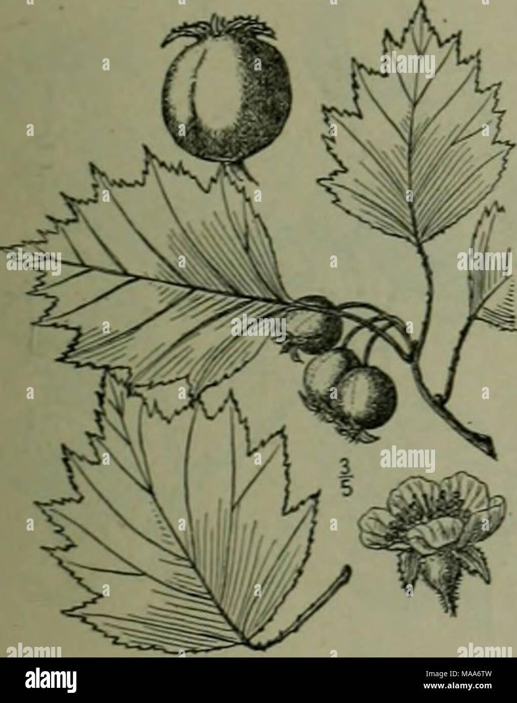 Eine Illustrierte Flora Von Der Nordlichen Usa Kanada Und Die