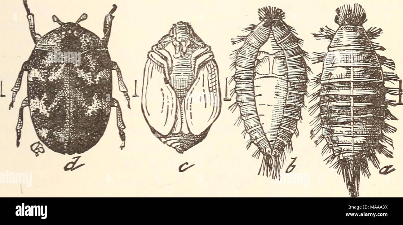 Okonomische Entomologie Fur Den Landwirt Der Teppich Kafer