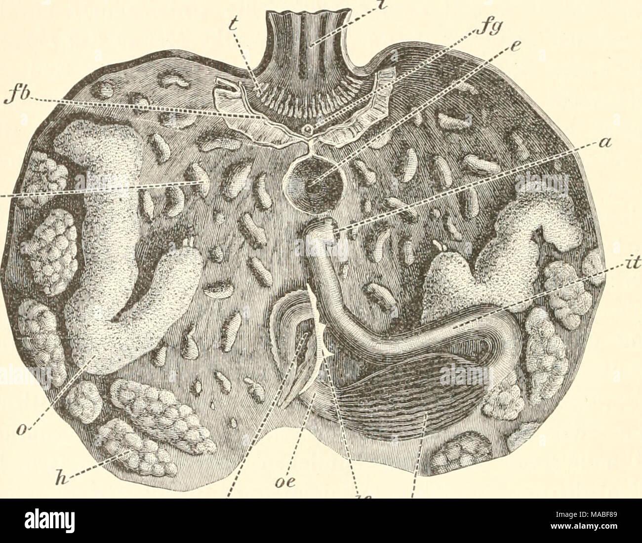 Groß Anatomie Des Magen Bereich Fotos - Menschliche Anatomie Bilder ...