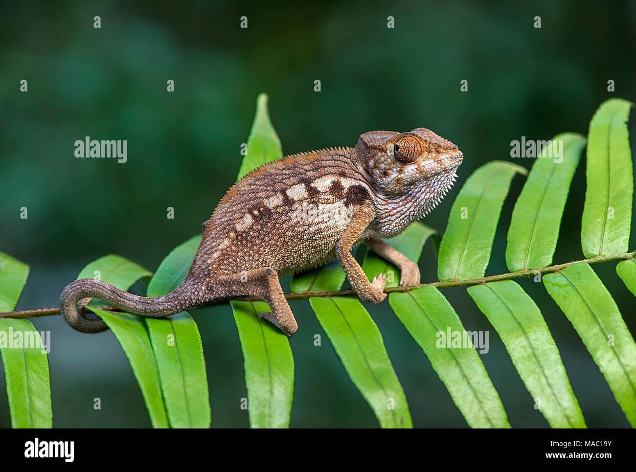 Panther chameleon (Furcifer pardalis), (Chameleonidae), endemisch auf Madagaskar, Ankanin Ny Nofy, Madagaskar Stockbild