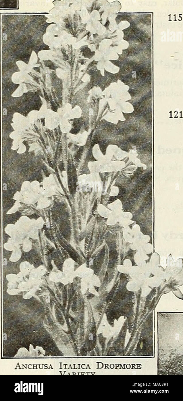 Dreer S Mitte Sommer Liste 1928 Armeria Meer Rosa Oder Sparsamkeit