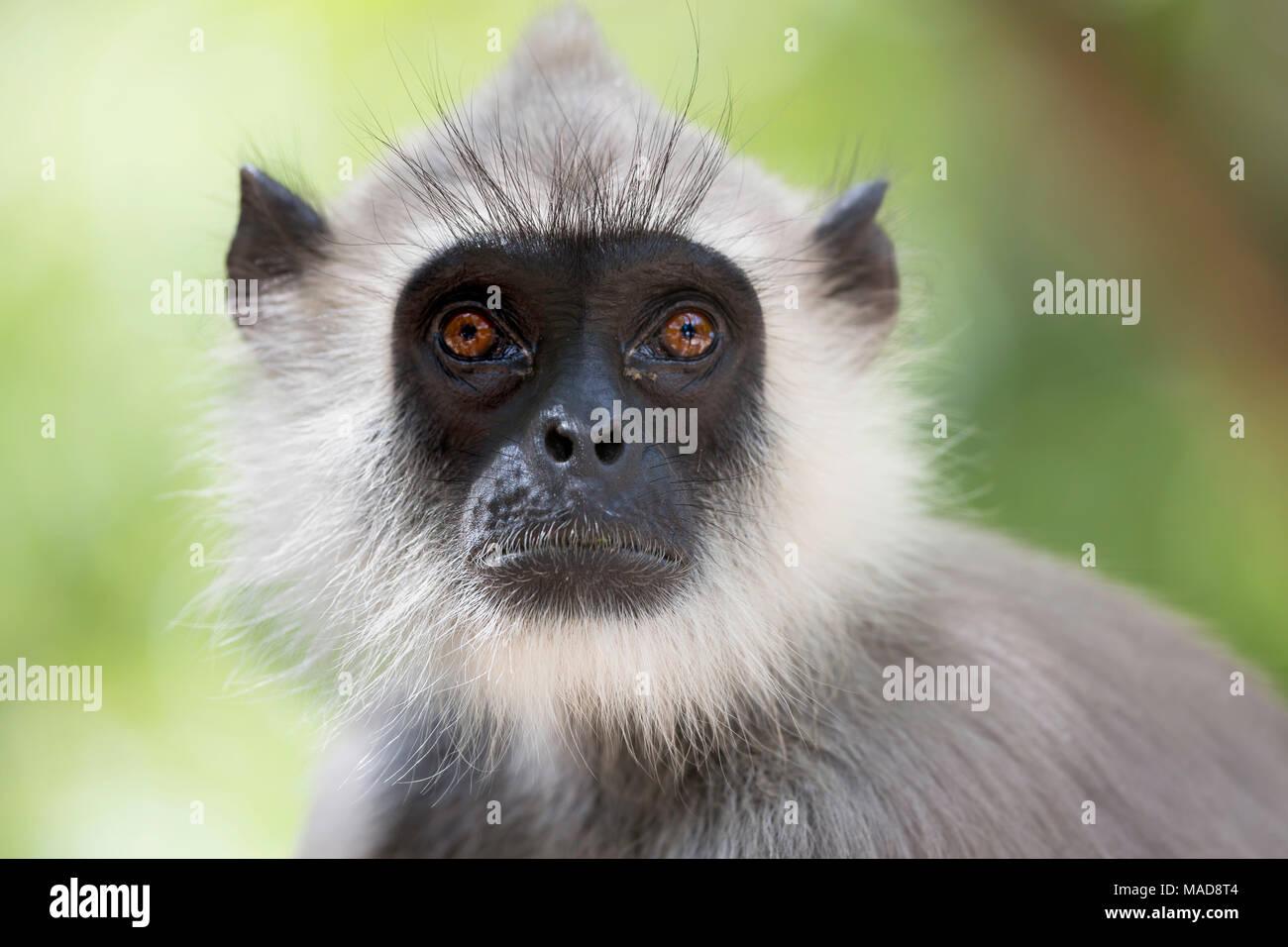 Grau langurs oder Hanuman langurs, Semnopithecus entellus, sind die am weitesten verbreiteten langurs des indischen Subkontinents. Sie sind in den meisten Bereichen gefunden Stockbild