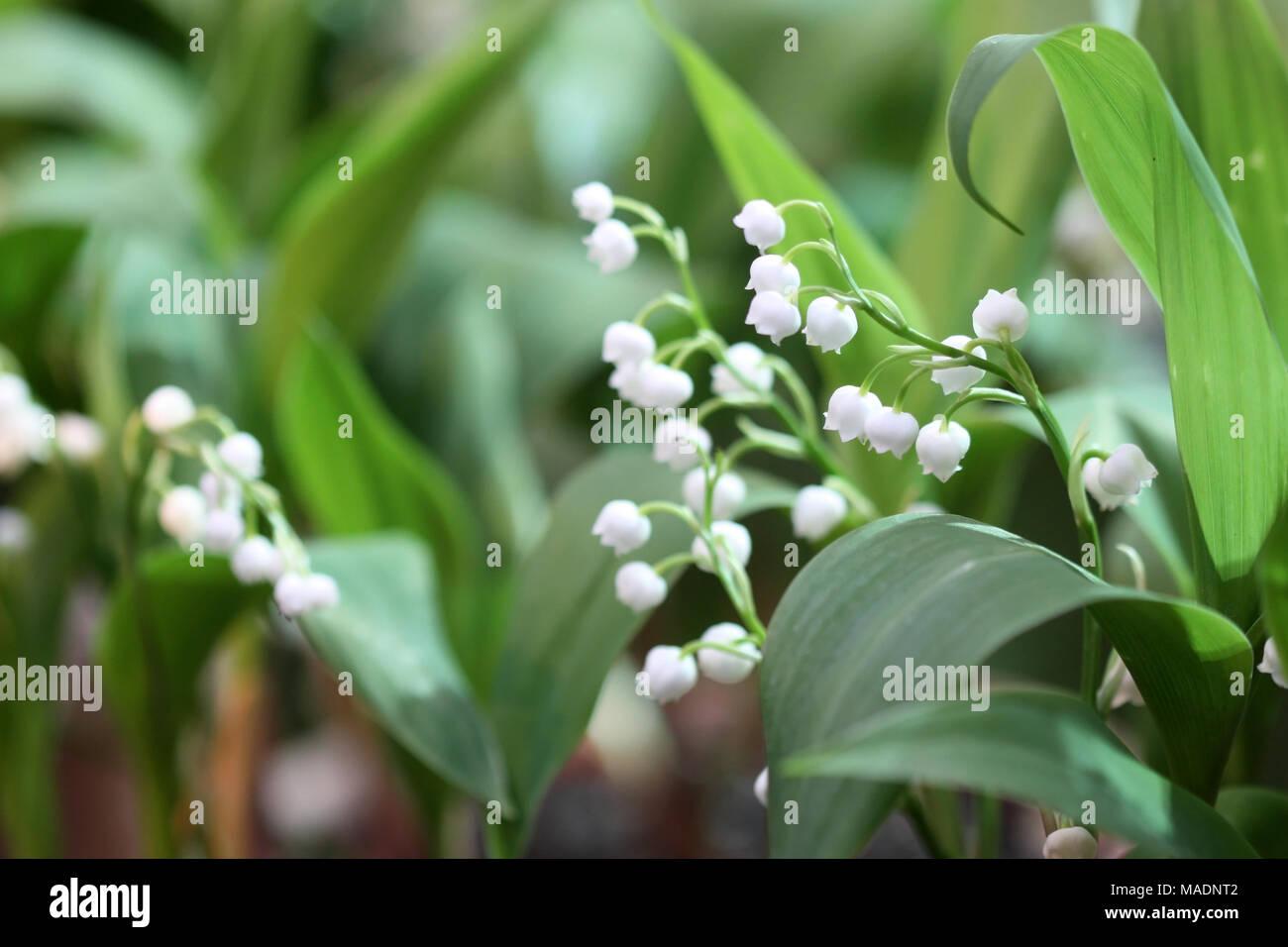 Die blühende Maiglöckchen auf grünem Hintergrund es horizontal ist. Makro. Convallaria. Asparagaceae Familie. Stockbild