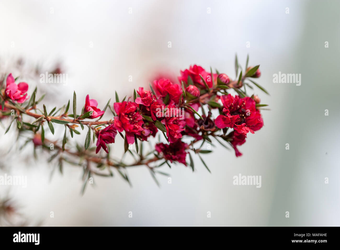Manuka Myrte, Rosenmyrten (Leptospermum scoparium) Stockbild
