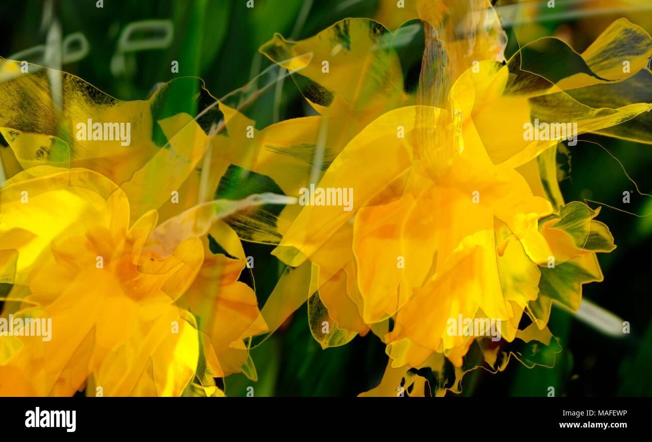 Narzissenblüte (Narcissus Pseudonarcissus) ich Blühenden Narzissen Stockbild