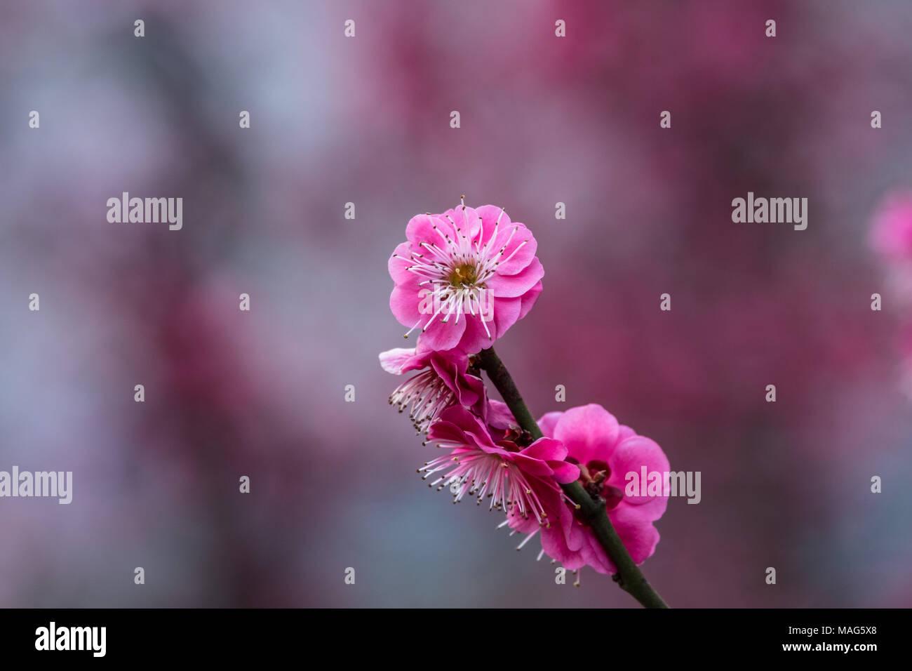 Eine Pflaume mit einem unscharfen Hintergrund Stockbild