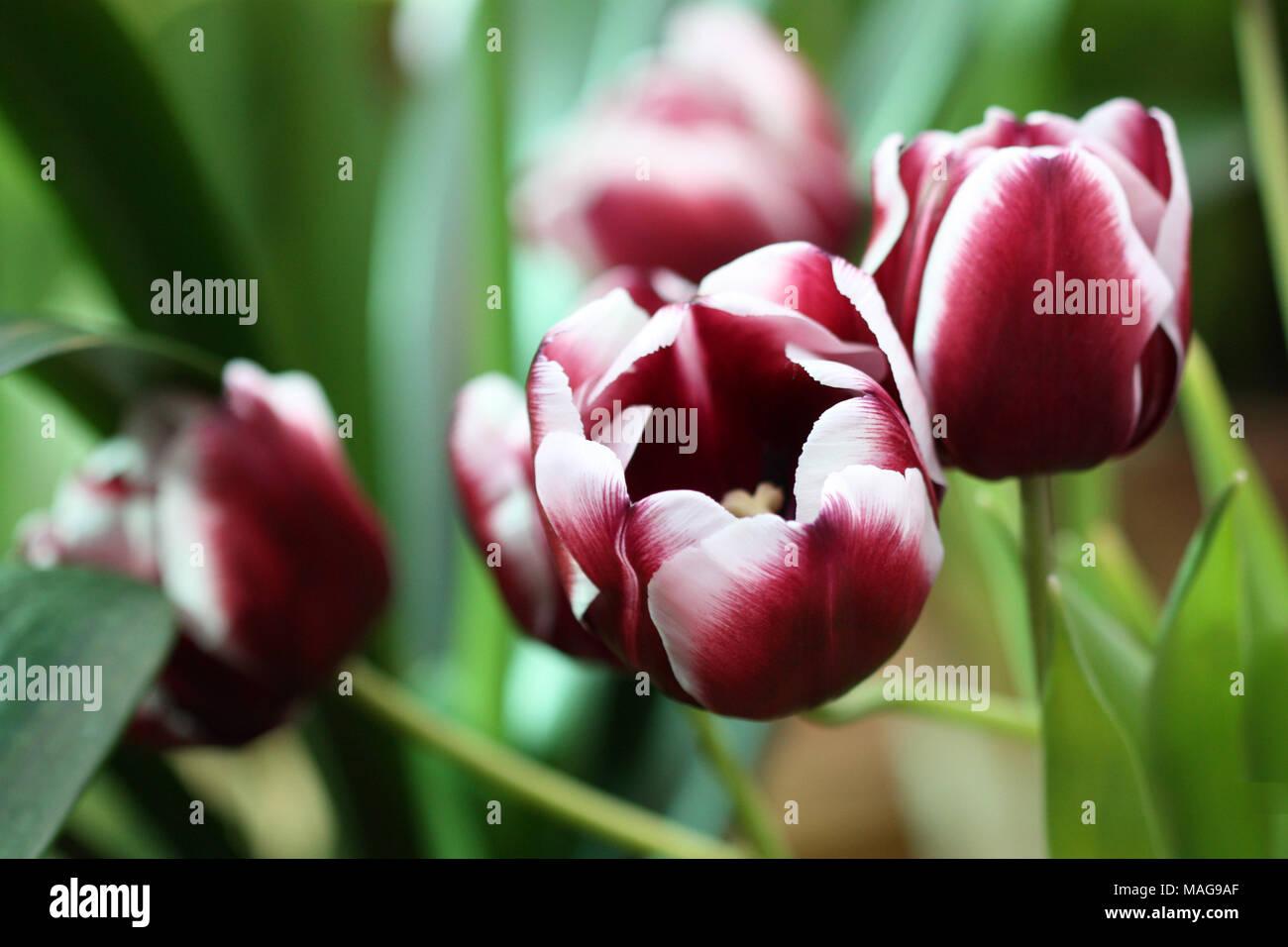 Die Tulpen blühen. Eine schöne Blume Hintergrund mit hellen Tulpen horizontal. Stockbild