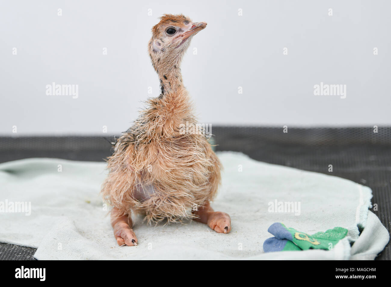 """30 März 2018, Deutschland, Ruelzheim: ein Baby strauße der Unterarten blue-necked Strauß in der Rasse von der straußenfarm """"Hou"""". Foto: Uwe Anspach/dpa Stockbild"""