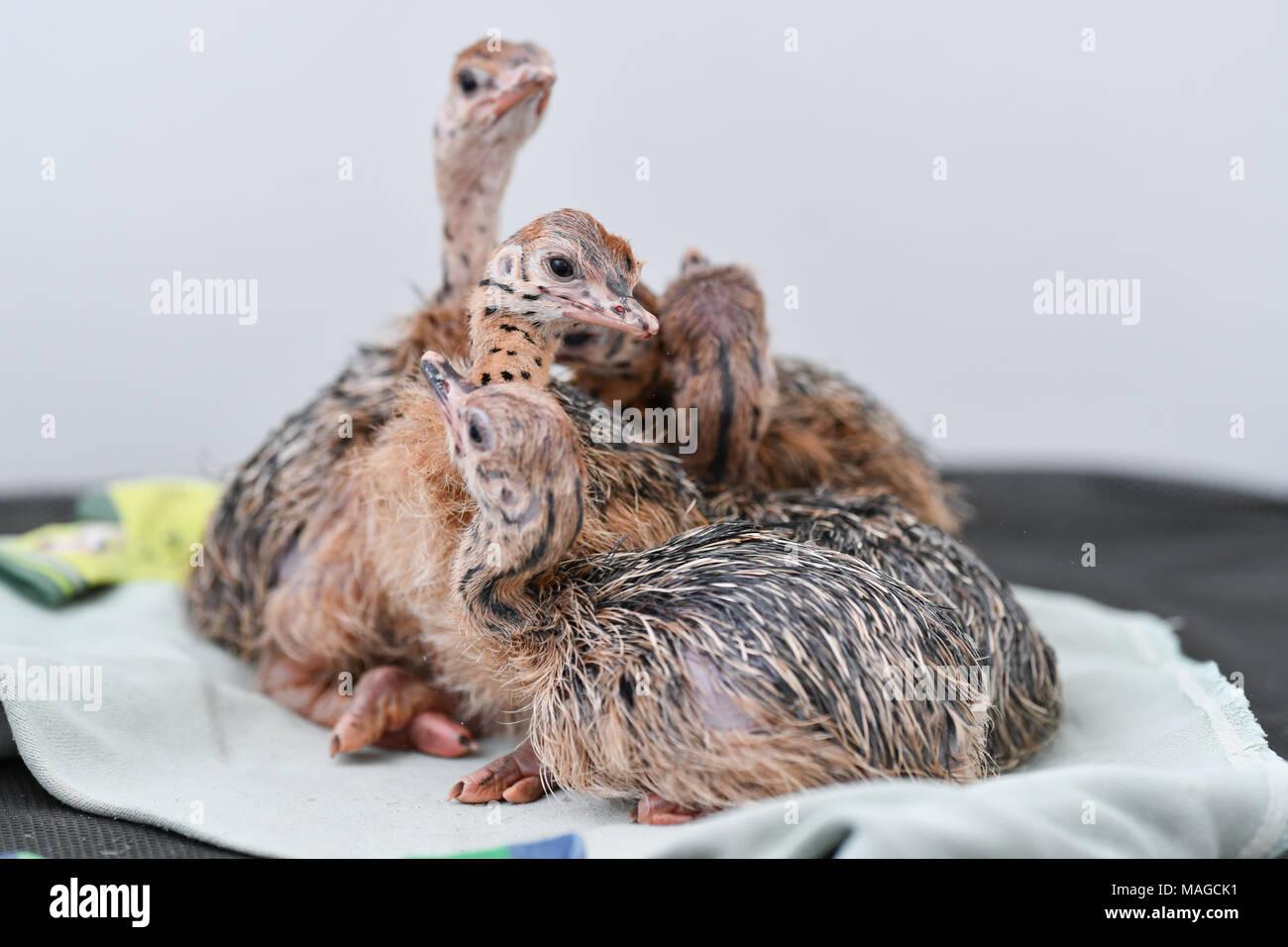 """30 März 2018, Deutschland, Ruelzheim: Baby strauße der Unterarten blue-necked Strauß in der Rasse von der straußenfarm """"Hou"""". Foto: Uwe Anspach/dpa Stockbild"""