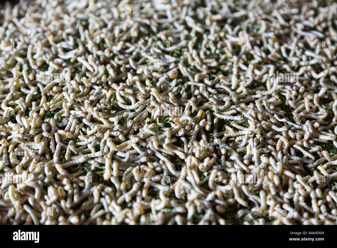 Seidenraupen - Nahaufnahme der Seidenraupen, die Larve, Raupe oder imago Der silkmoth (Bombyx mori), von der Seide ist, Kampong Thom, Cambo Stockbild