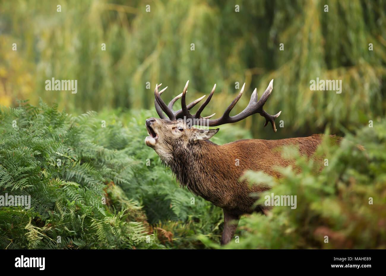 In der Nähe des Red Deer brüllen während der Brunft im Herbst, UK. Stockfoto