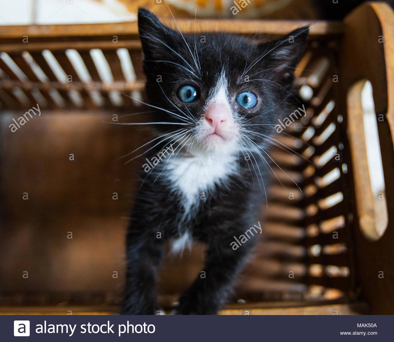 Süße schwarze und weiße Tuxedo Katze mit blauen Augen blickte von einem Korb Stockbild