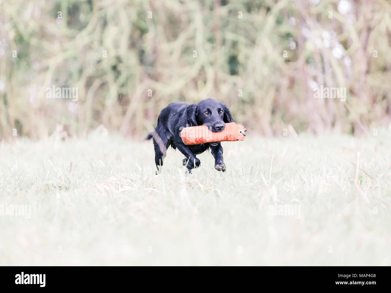 Working Cocker Spaniel hunde Training in der Landschaft, Vereinigtes Königreich Stockbild