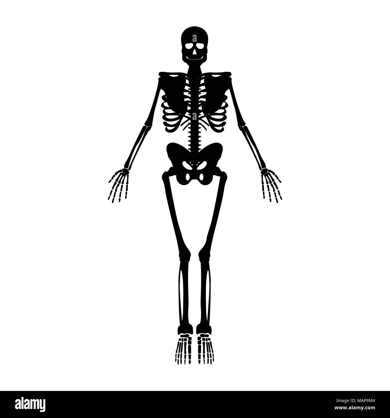 Skelett-Symbol. Menschliches Skelett Vorderseite Silhouette. Auf weissem Hintergrund. Vector Illustration. Stockbild