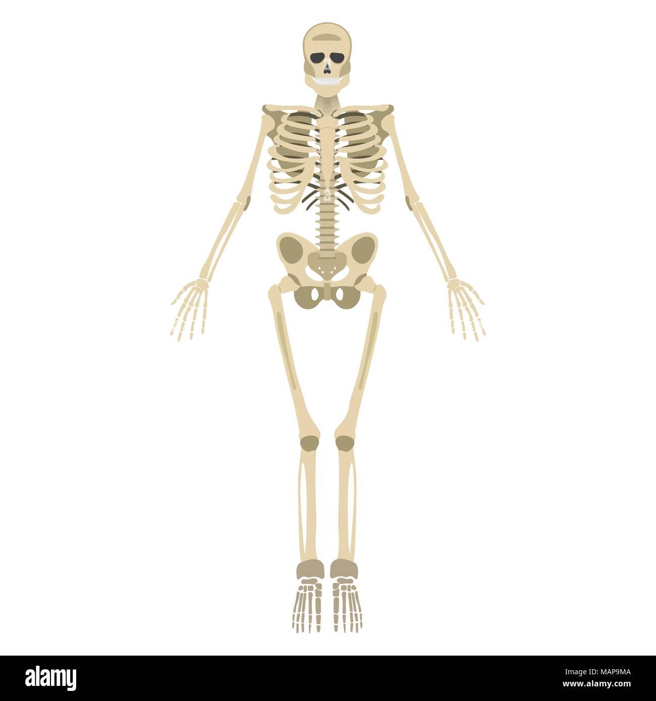 Ungewöhnlich Menschliches Skelett Mit Markiertem Knochen ...