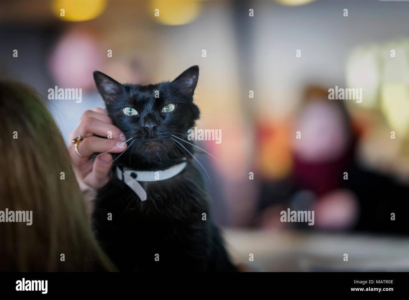 Adorable schwarze Katze mit wunderschönen grünen Augen in den Händen des Mädchens Freiwilliger, in Obdach für obdachlose Tiere für zu Hause warten Stockbild