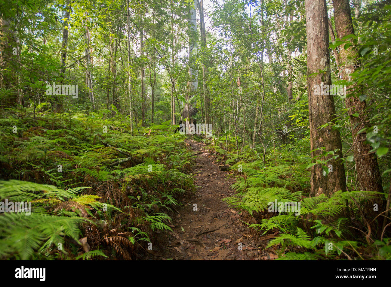 Dichten smaragdgrünen Wäldern mit Farnen und Adlerfarn durch schmale Wanderweg in Conondale Ranges National Park Queensland Australien durchtrennt Stockbild
