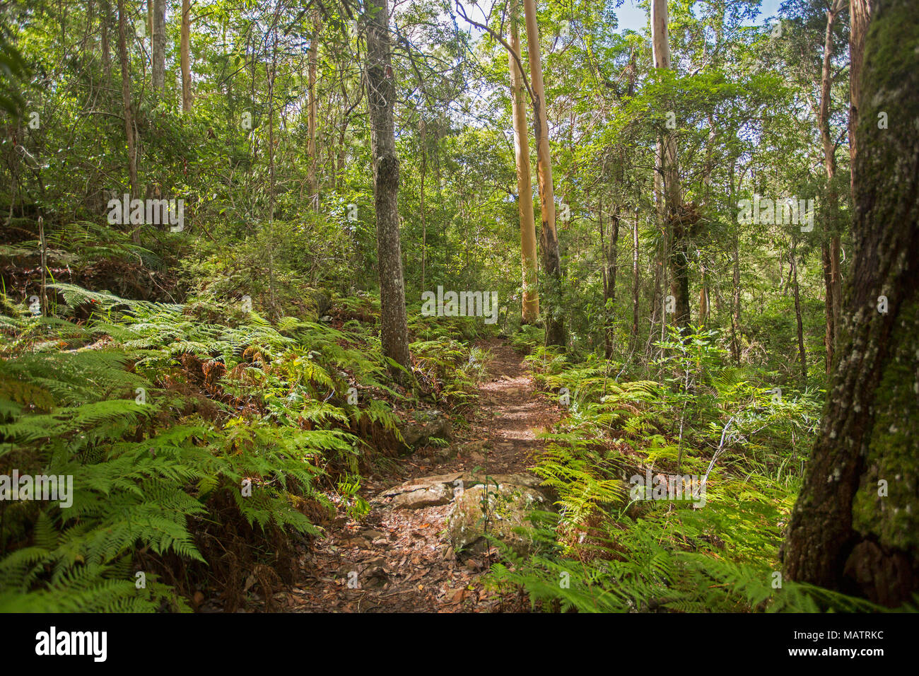 Dichten smaragdgrünen Wäldern mit Farnen und Adlerfarn durch schmale Wanderweg in Conondale Ranges National Park Queensland Australien durchtrennt Stockbild