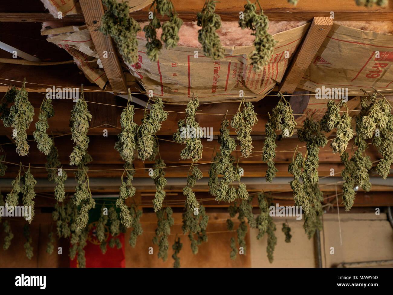 Pflanzen Trocknen medizinisches marihuana pflanzen trocknen im wachsen stockfoto bild