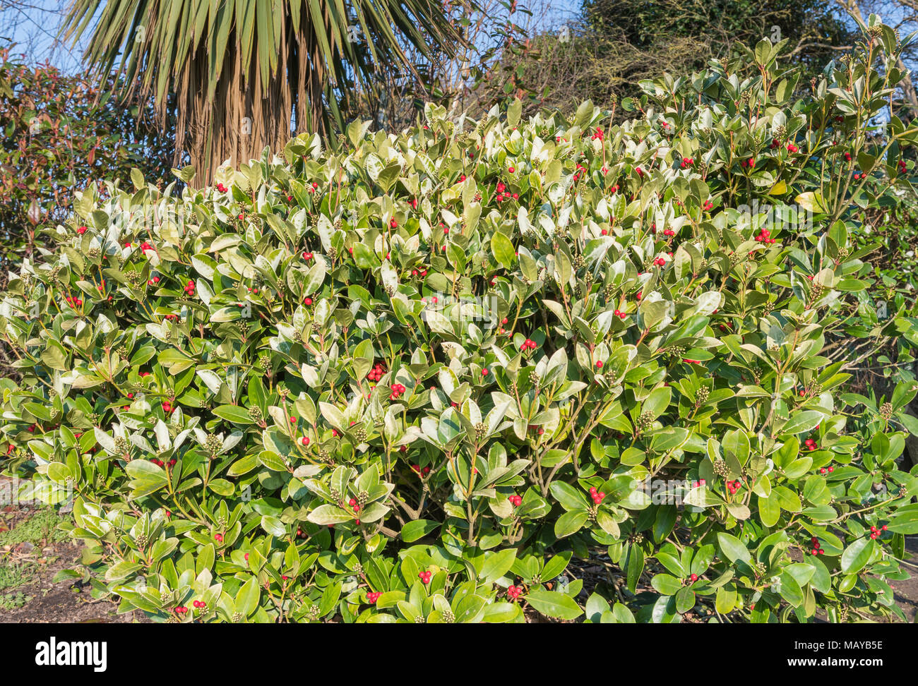 Japanische Laurel (Aucuba japonica) Bush mit roten Beeren wachsen in einem Park im Winter in West Sussex, England, UK. Stockbild