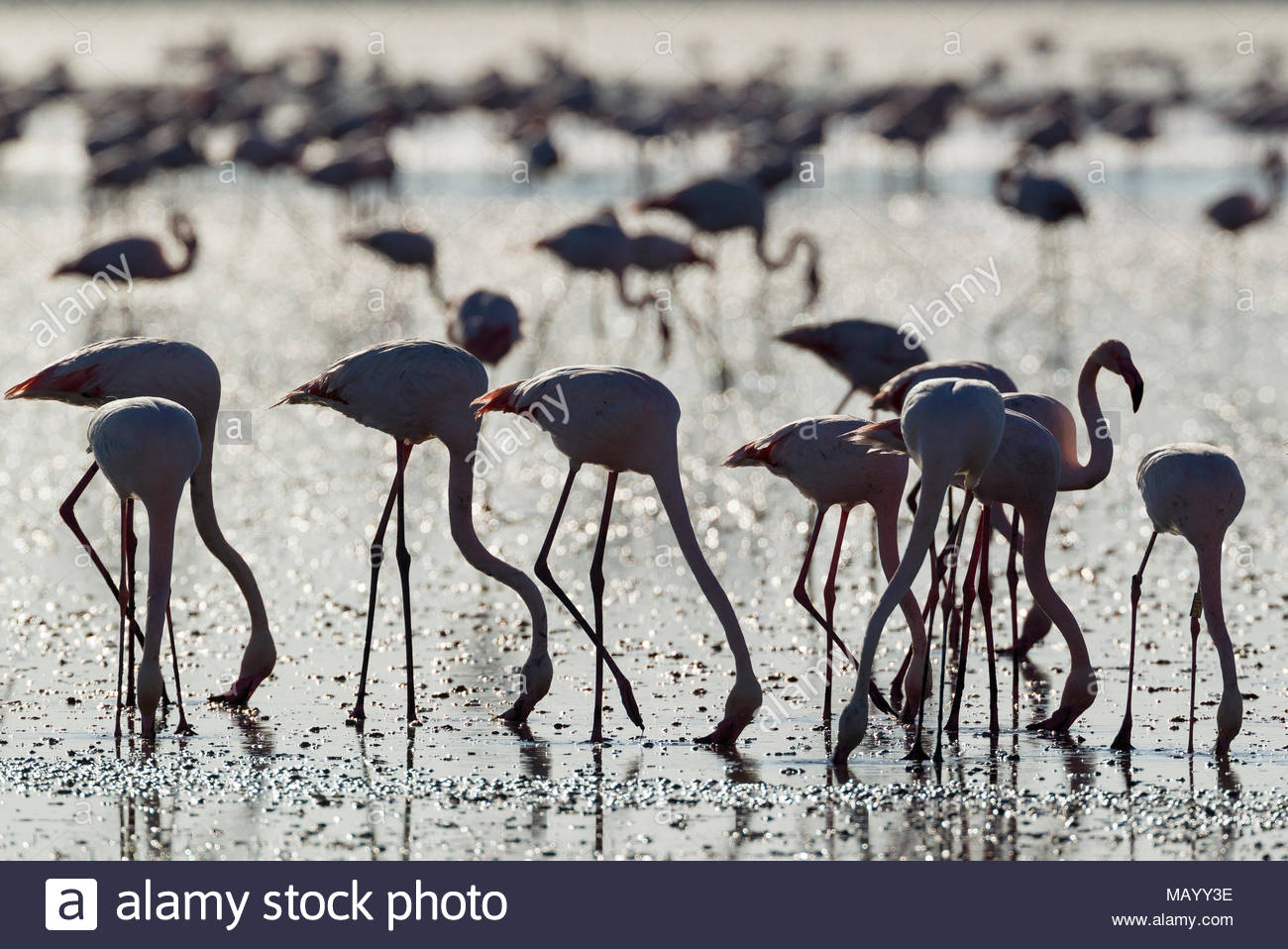 Flamingos (Phoenicopterus Roseus), Fütterung, Silhouette, Hintergrundbeleuchtung, Provinz Malaga, Andalusien, Spanien Stockbild